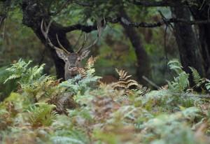 un cerf photographié par Pascal