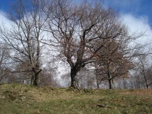 un chêne en haut de la coume et la serre